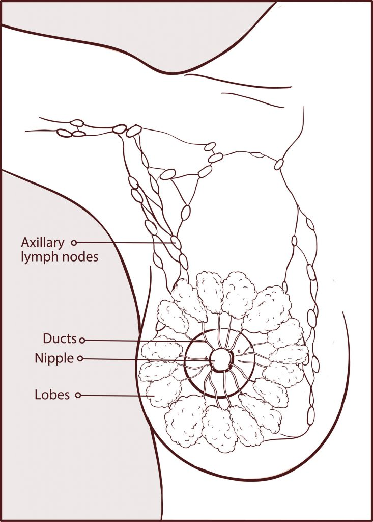 illustration of a woman breast anatomy